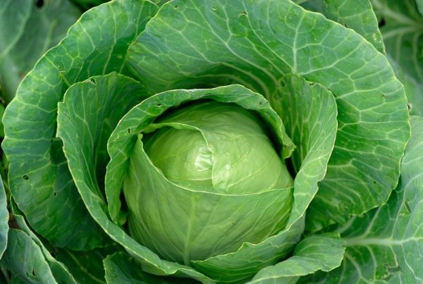 St. Patrick's Day Cabbage Recipes